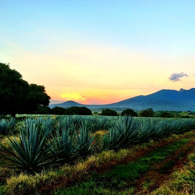 Azuñia Tequila Agave Fields